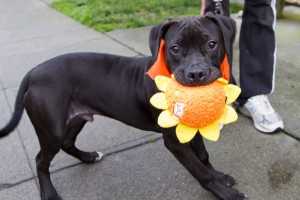 Elton, A023448, kennel 8, M, 4 mos, black Pit Bull, avail 12/7/2010